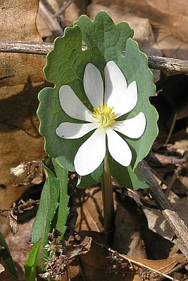 Bloodroot (photo by Dianne Machesney)