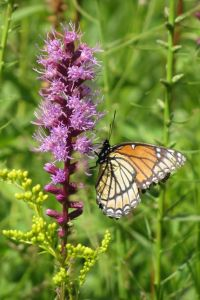 blazing star with viceroy