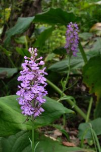 purple orchis monica