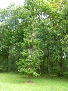 Weeping Siberian Pine