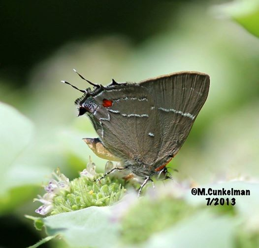marcys hairstreak